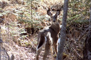 wildlife-deer-1