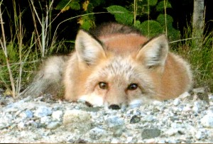 wildlife-fox-1