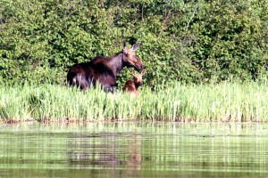 wildlife-moose-1